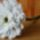 Fehér gerbera
