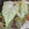Korallvörös begónia(Begonia corallina)