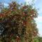 Piroslik a meggyfa