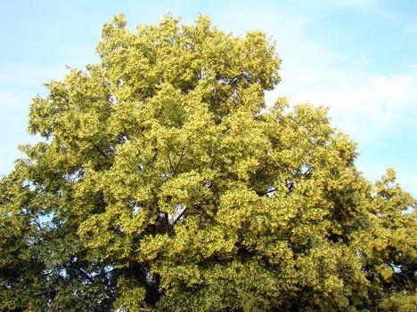 Virágzó illatos hársfa