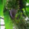 Banánfa termése