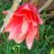 kaktuszom virágja