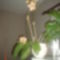 sárga bórdó csikos orchidea