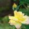 Sárga rózsám