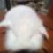 Törpenyúl tartása, tenyésztése vásárlása Kecskeméten! 2