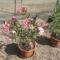 Most nyiló virágaim 10