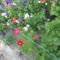 Most nyiló virágaim 24