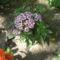 Most nyiló virágaim 26