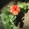 Most nyiló virágaim 28