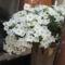 Most nyiló virágaim 31