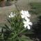 Most nyiló virágaim 32