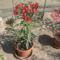Most nyiló virágaim 38