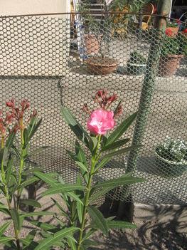 Most nyiló virágaim 43