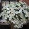 Most nyiló virágaim 46