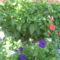 Most nyiló virágaim 56