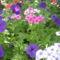 Most nyiló virágaim 5