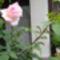 Rózsaszálam