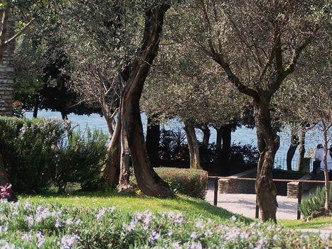 Olaszország, Garda-tó, olajfák 1