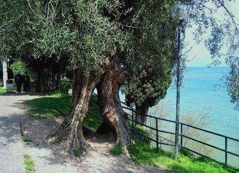 Olaszország, Garda-tó, olajfák 2