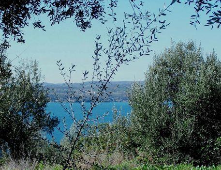 Olaszország, Garda-tó, olajfák 4