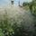 Fátyolvirág