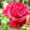 Bársonyos piros rózsa a kiskertben !
