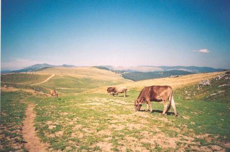 Erdély Radnai-havasok legelésző tehenek