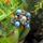 Ildi-gyöngye
