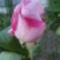 virágaim_58