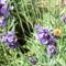 Levendula méhecskével