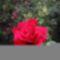Rózsa -sajnos, a kép sérült