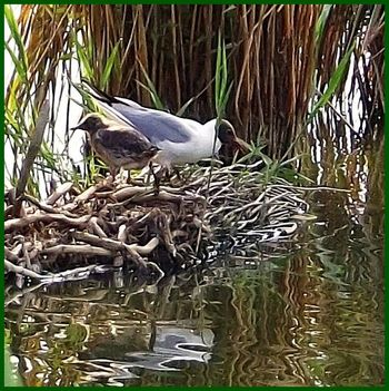 Bújtosi tó dankasirály fészkén