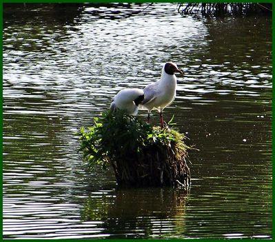 Bujtosi tó dankasírályok
