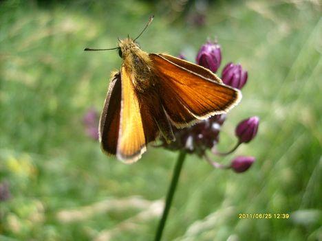Busalepke mezei perje szittyón, Koloska völgy