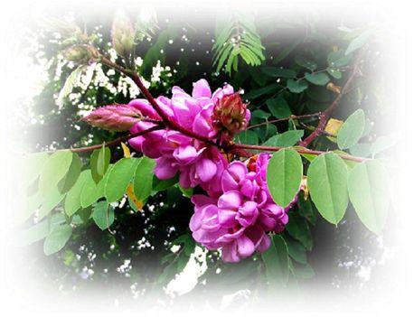 Akác virág