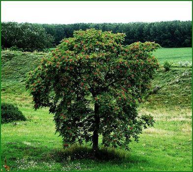 Bálványfa