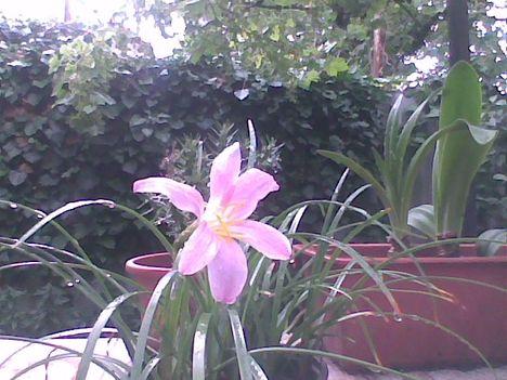 Kép005jpgPillangóvirág