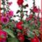 Mályva rózsák