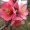 Japán bírs virágok