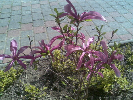 Törpe Magnolia