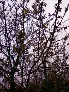 virágzik a cseresznyefa