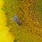 Szorgos méhecske, Halászi-Arak