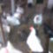 Kép011(a csirkéim unokáim nagyon kedvelik a jószágokat.)