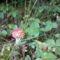 A szelíd erdei szamócák és a szép de gonosz légyölő galóca