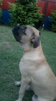 http://www.facebook.com/pages/BONZO-THE-BULLMASTIFF/203043476398551 1