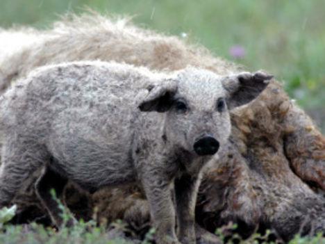 Bio állattartás