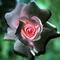 black-pink-rose