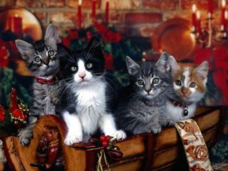 Karácsonyi cicák