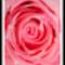 rózsafej