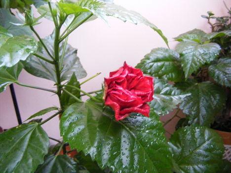 Kínai rózsa